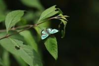 メスアカミドリシジミ他 - Lycaenidaeの蝶鳥撮影日記