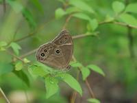 クロヒカゲモドキのその後の様子 - 蝶超天国