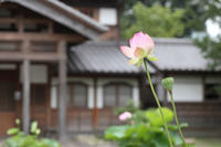 今日も蓮の花 - 写真の記憶