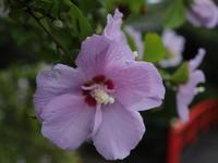 夏の花(16) ムクゲ 紫 (2020/7/15撮影) - toshiさんのお気楽ブログ