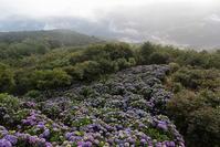 秩父美の山公園朝日の中のアジサイと雲海その2 - 日本あちこち撮り歩記