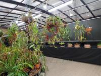 明後日から「食虫植物展」(^o^)丿 - 手柄山温室植物園ブログ 『山の上から花だより』