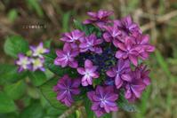 紫陽花2020/6/28 - 心優先モード(^_^)v