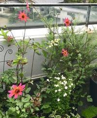 7月のベランダ(夏の花) - 緑のしずく (ベランダガーデン便り)