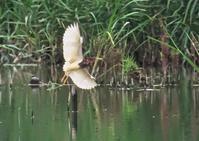 アカガシラサギ - くまさんの二人で鳥撮り