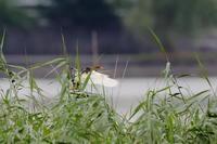 沼のアカガシラサギ - 銀狐の鳥見