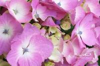ピンクいろの紫陽花 - Rey Photo
