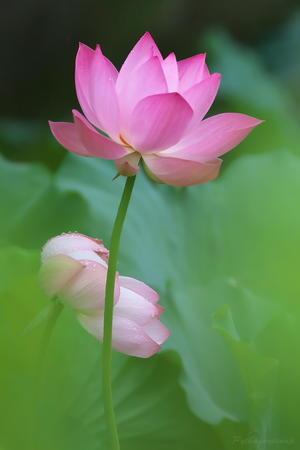 Lotus@2020 - Pythagorasnap (ぴたごらスナップ)
