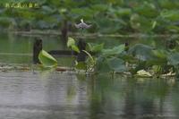 沼のコアジサシ - 奥武蔵の自然
