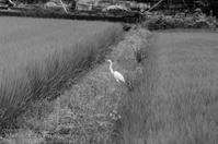 20散歩〜梅雨鷺・捕食 - 散歩と写真 Fotografia é Passeggiata