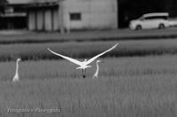 20散歩〜梅雨鷺・飛翔2 - 散歩と写真 Fotografia é Passeggiata