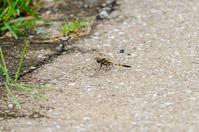 20散歩〜梅雨ムギワラトンボ - 散歩と写真 Fotografia é Passeggiata