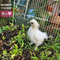 ヒヨコ烏骨鶏とコールダック - 烏骨鶏かわいいブログ