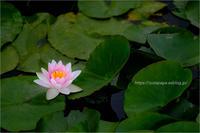 water lily - りゅう太のあしあと