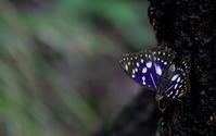 小暑鷹乃学習 - 紀州里山の蝶たち