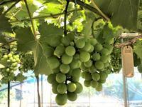 日曜日の葡萄だより - 島暮らしのケセラセラ