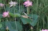 ヨシゴイその17(花絡みの飛翔&カルガモ親子) - 私の鳥撮り散歩