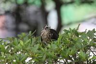 ツミ家から近い公園で(最後の子の早い巣立ち) - 私の鳥撮り散歩