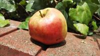 りんごがポト・・・ - 台町公園ブログ