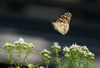 夏のタテハチョウいろいろin2020.06.20~07.12埼玉県~長野県ほか - ヒメオオの寄り道