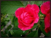 咲かなかったジギタリスとコンクリートにぶつけた膝 - どんぐりの木の下で……