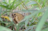8年ぶりに撮影したジャノメチョウ - 堺のチョウ