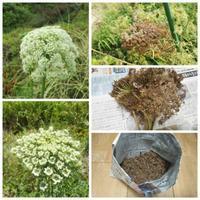人参の種採り、そのまま種蒔き・・・南国畑 - 化学物質過敏症・風のたより2