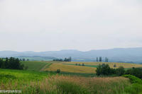 小麦が色づく、マイルドセブンの丘~6月の美瑛 - My favorite ~Diary 3~