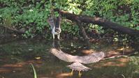 オオタカお父さんに向っていく幼鳥 - Life with Birds 3