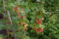 自然栽培キャベツの成長種蒔き・植付けの完了 - 自然栽培 釧路日記