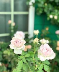 私の日常♫と、今年は蚊が多いの? - 薪割りマコのバラの庭