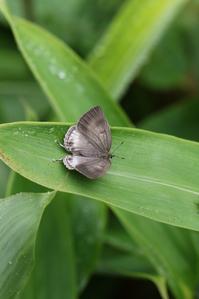 ウスイロオナガシジミの開翅ラッシュ - 蝶超天国