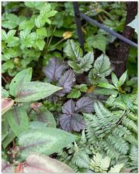 アスチルベ・チョコレートショウグン - 小さな庭 2