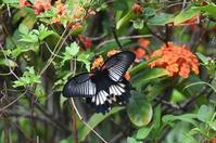 沖縄ナガサキアゲハ - 続・蝶と自然の物語