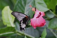 ナガサキアゲハ・・・ - 続・蝶と自然の物語