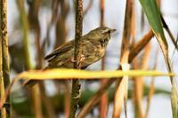 森のウグイスさん - 鳥と共に日々是好日②