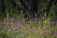 2019年8月26日八島湿原① アサマフウロ&アキノウナギヅカミ など - 雑木林の家から-nishio