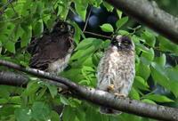 アオバズクの巣立ち - 私の鳥撮り散歩