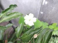 カラスウリが咲いた。 - がちゃぴん秀子の日記