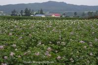 ジャガイモの花畑 - ekkoの --- four seasons --- 北海道