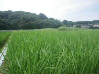 久々の晴れ!田んぼの草取りをしました - いねのかみ ~すべては「おかげさま」~