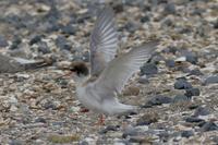 飛ぶ練習に励むコアジサシの雛たち(千葉県検見川浜) - 旅プラスの日記
