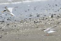 お母さんに促されて飛んだコアジサシのヒナ(千葉県検見川浜) - 旅プラスの日記