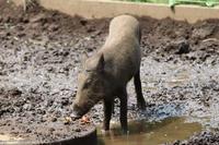 残暑な井の頭~ニホンイノシシ姉妹とフェネックの子供たち(August 2019) - 続々・動物園ありマス。