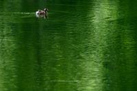 長野市カイツブリの親子~戸隠森林植物園にて - 野沢温泉とその周辺いろいろ2
