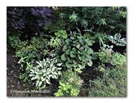 夏バテ予防に鰻 - 雪割草 - Primula modesta -