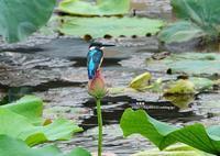 蓮にカワセミ ④ - azure 自然散策 ~自然・季節・野鳥~