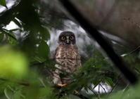 アオバズクの巣立ちその3(巣立ち翌日) - 私の鳥撮り散歩