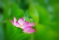 蓮の花眩しく - ♪一枚のphotograph♪