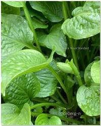 ホスタの蕾とクレマチスの花球 - 小さな庭 2
